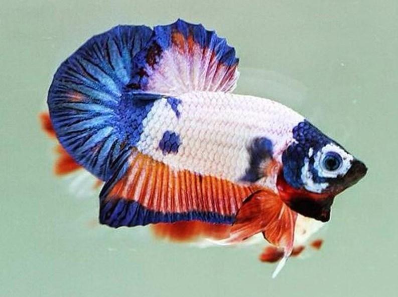 Perbadaan Antara Ikan cupang Hias dan Cupang Petarung HIas Fancy