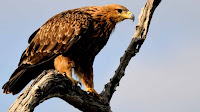 Tawny Eagle pictures_Anitibyx armatus
