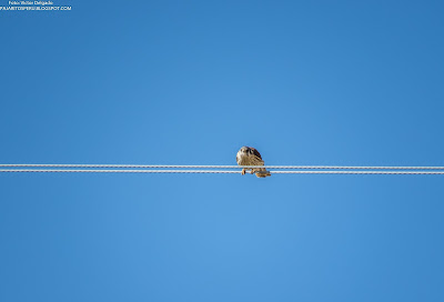 American Kestrel on high tension cable