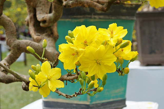 Which kind of flower/tree do Vietnamese people cherish the most during Tet holidays? 2