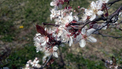 赤色が強い品種のハタンキョウの花。花も葉も赤みが強いです。