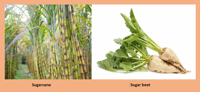 Difference between sugarcane and sugar beets