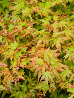 Acer palmatum 'Coonara Pygmy' Japanese maple at the Toronto Botanical Garden by garden muses-not another Toronto gardening blog