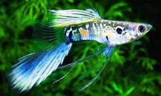 أسماك الطاووس الصينية الرائعة الجمال سبحــــــان الله image01918-745542.jp