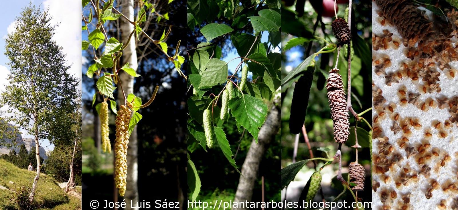 PLANTAR ÁRBOLES y arbustos: Árboles Autóctonos de España