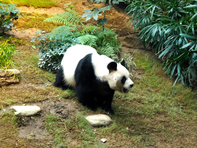 An An the giant panda, in the Sichuan Treasures exhibit of Ocean Park, Hong Kong