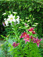 Oriental and asiatic lilies in the garden
