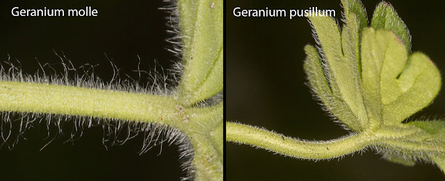 Petiole hair comparison: Geranium molle and Geranium pusillum.
