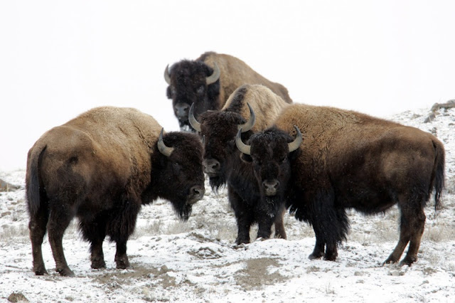 bisons at Yellowstone National Park