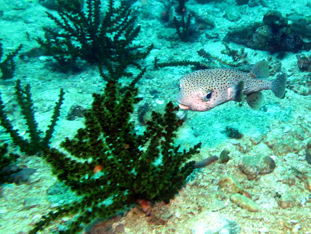 porcupine fish, green coral, malacca straits, thailand, koh lipe, underwater