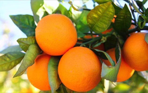 Αυξημένες ποσότητες πορτοκαλιών στην Αργολίδα - Στα 20 λεπτά η Ναβαλίνα, στα 16-18 το Μέρλιν