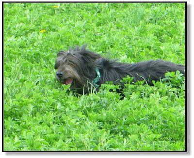 Hund rennt durch Gras