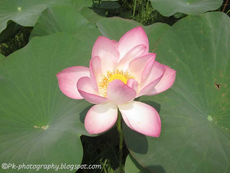Indian lotus flower nature cultural and travel photography blog lotus flower mightylinksfo