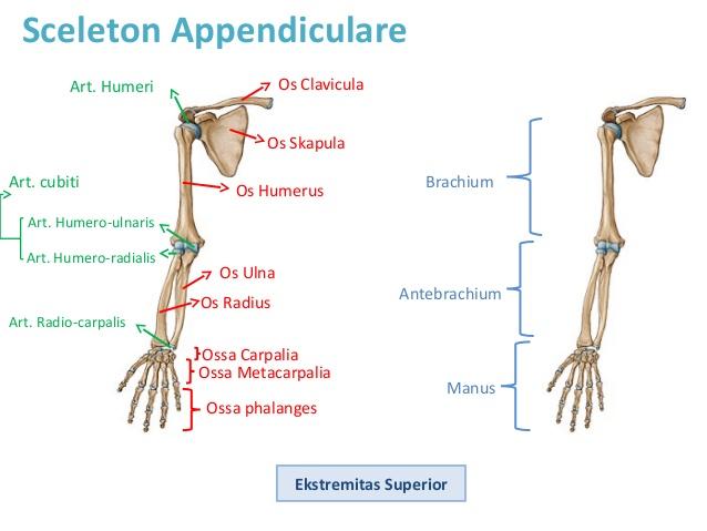 rangka apendikular ekstremitas superior