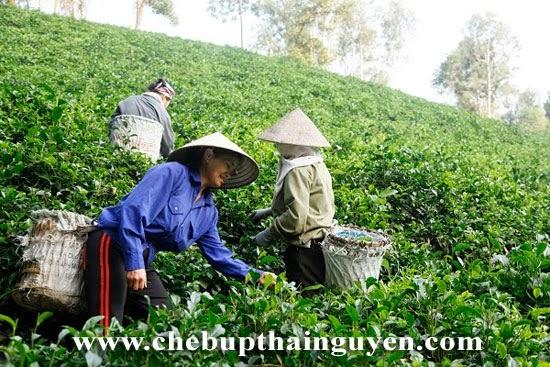 vùng trà trại cài thái nguyên