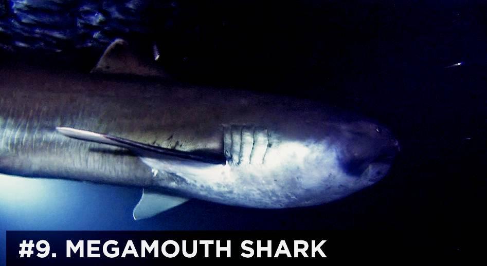 450+ Gambar Ikan Hiu Terbesar Di Dunia Terbaru