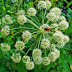 Αρχάγγελος: Οι ιδιότητες του θεραπευτικού φυτού και τρόποι παρασκευής