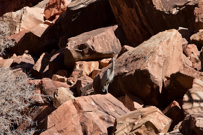 Great Grey Heron , bird, grand canyon of the colorado , Chris Baer