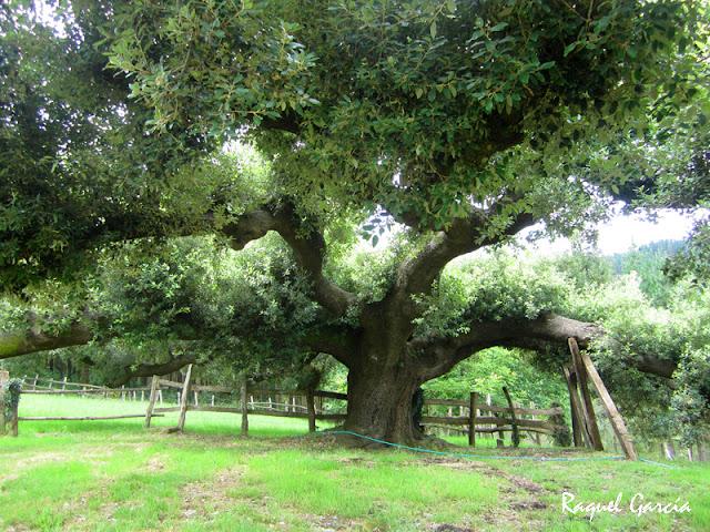 Árboles Singulares: Encina de Urkieta (Muxika, Bizkaia)