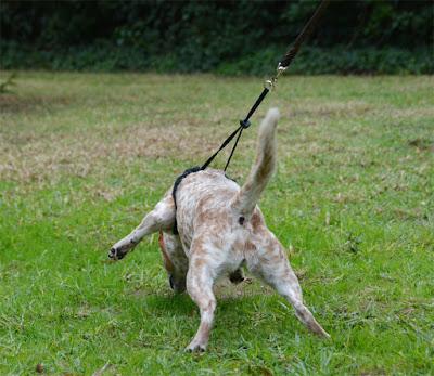 Annie pulling in Sporn Halter