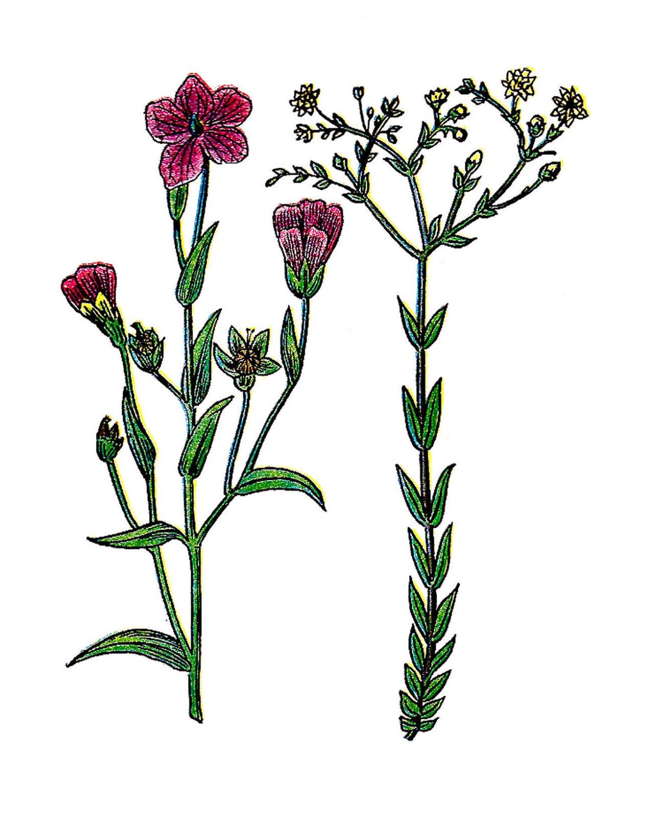 plant diagram clip art refrigerator wire antique images free botanical vintage
