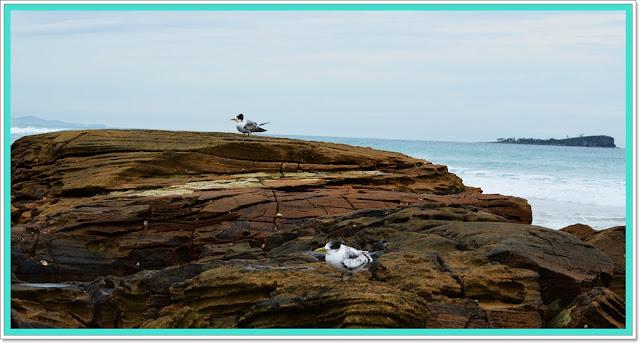 Terns Birdlife