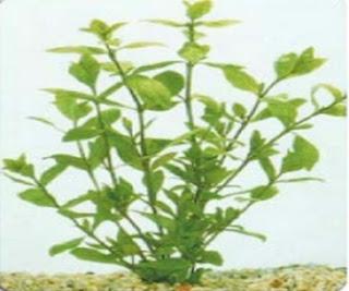 Higrófila polysperma planta para aquário