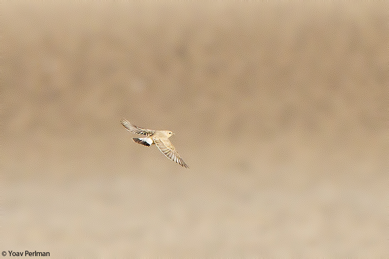 Issy Wheatear and more