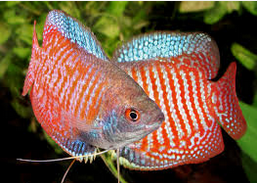 Ikan Hias Lace Gourami merah