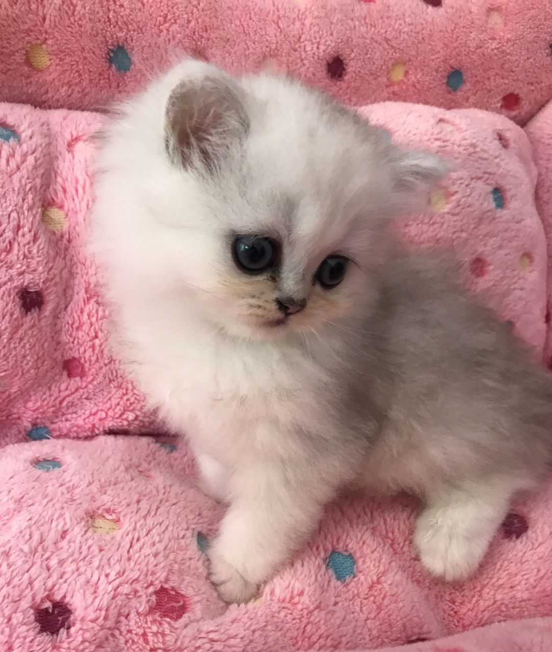 Kuwait Cats and kittens for sale Super Cute Blue Eyed Persian