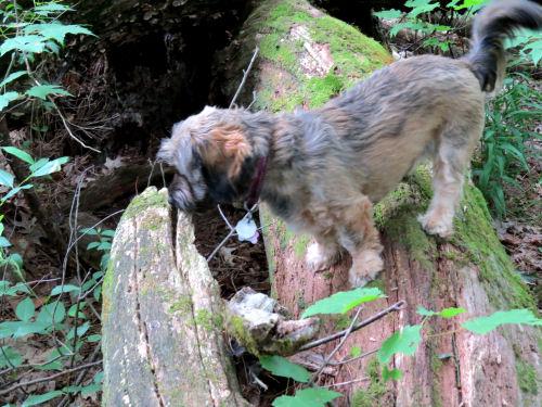dog on a log