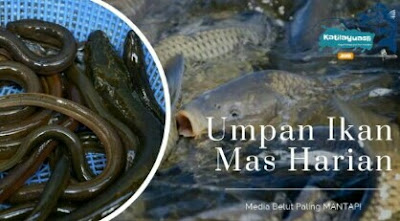 umpan ikan mas harian