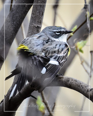 Yellow-rumped Warbler. Copyright © Shelley Banks; all rights reserved.