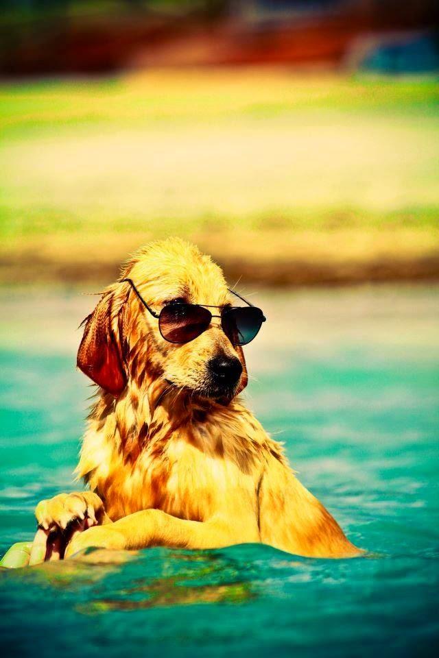 Looking Beautiful Golden retriever puppy in Swim Pool