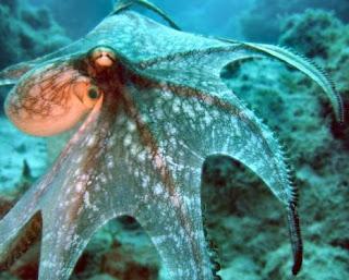 Pulpo extendiendo sus tentáculos