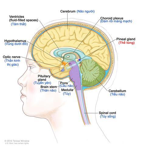 Bộ phận đánh số 23 là thể tùng trong bộ não người. Ảnh chụp màn hình/YouTube