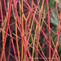 http://www.thenurseries.com/cornus-alba-sibirica-dogwood-bare-root-hedging-plants-p-901.html