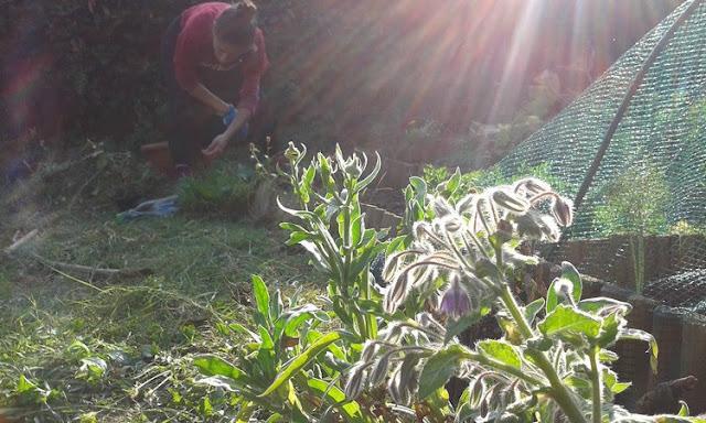 Togliere le lumache dall'orto a mano