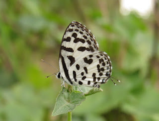 Castalius rosimon, Common Pierrot