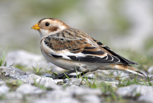 Snow Bunting, Hawfinch, Brambling and Tawny Owl....what a week!
