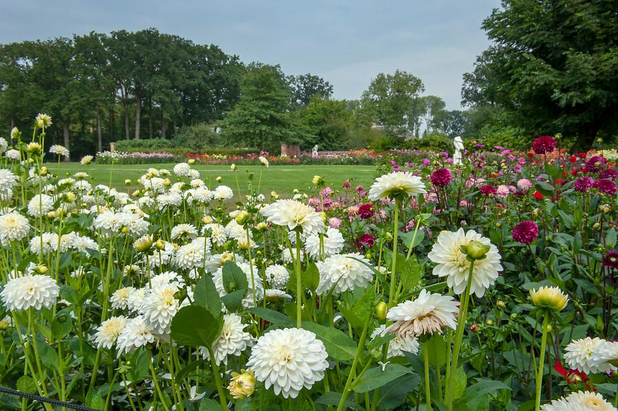 dalias blancas y jardín de dalias al fondo con cesped