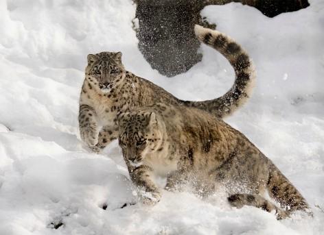 Leopardos de las nieves