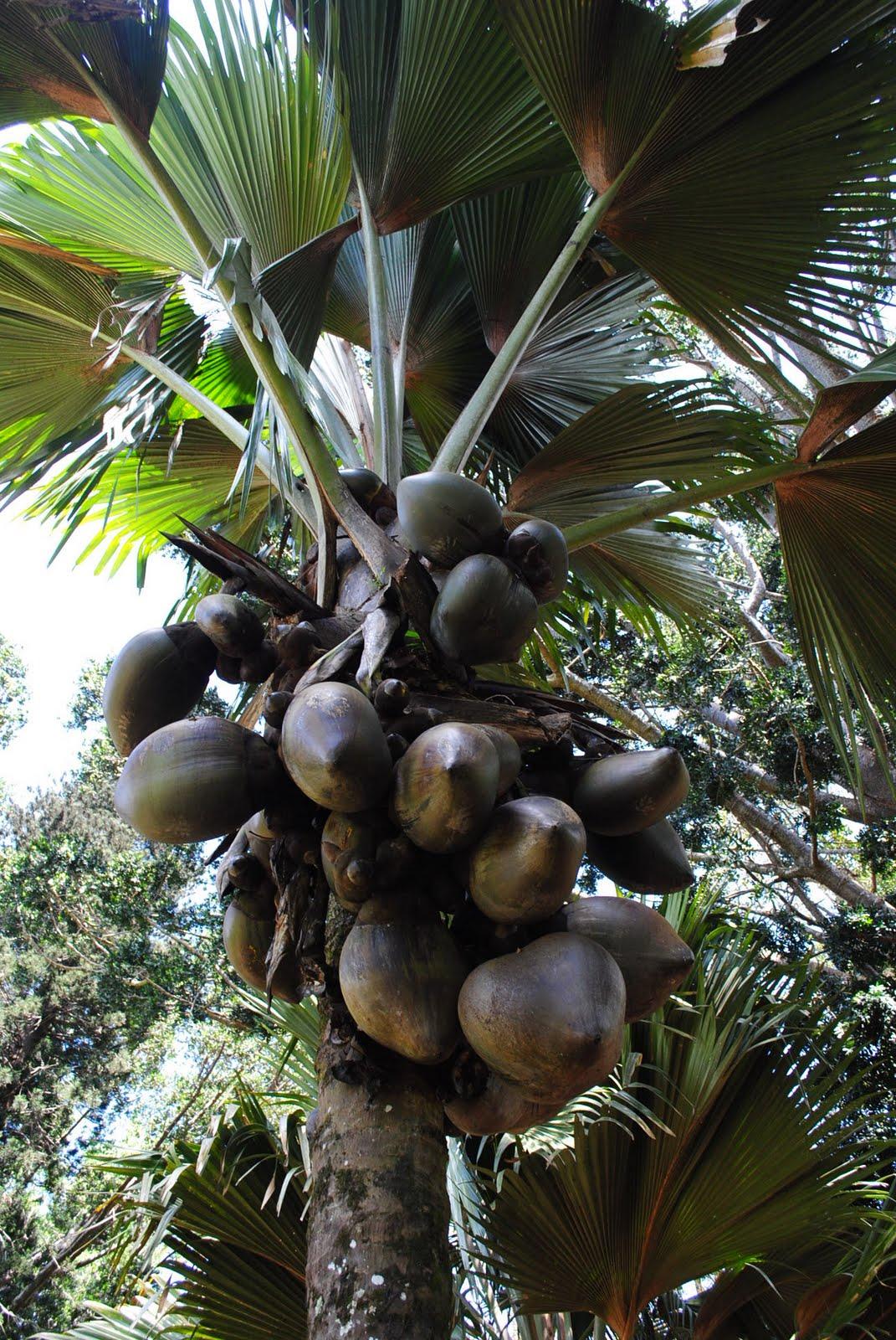 plantspeople: coco de mer, double coconut, beautiful rump