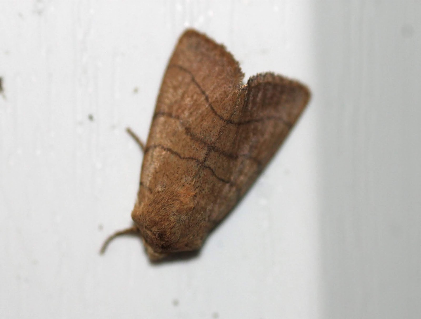 Upper Thames Moths: Lots more first-time sightings in the garden in ...