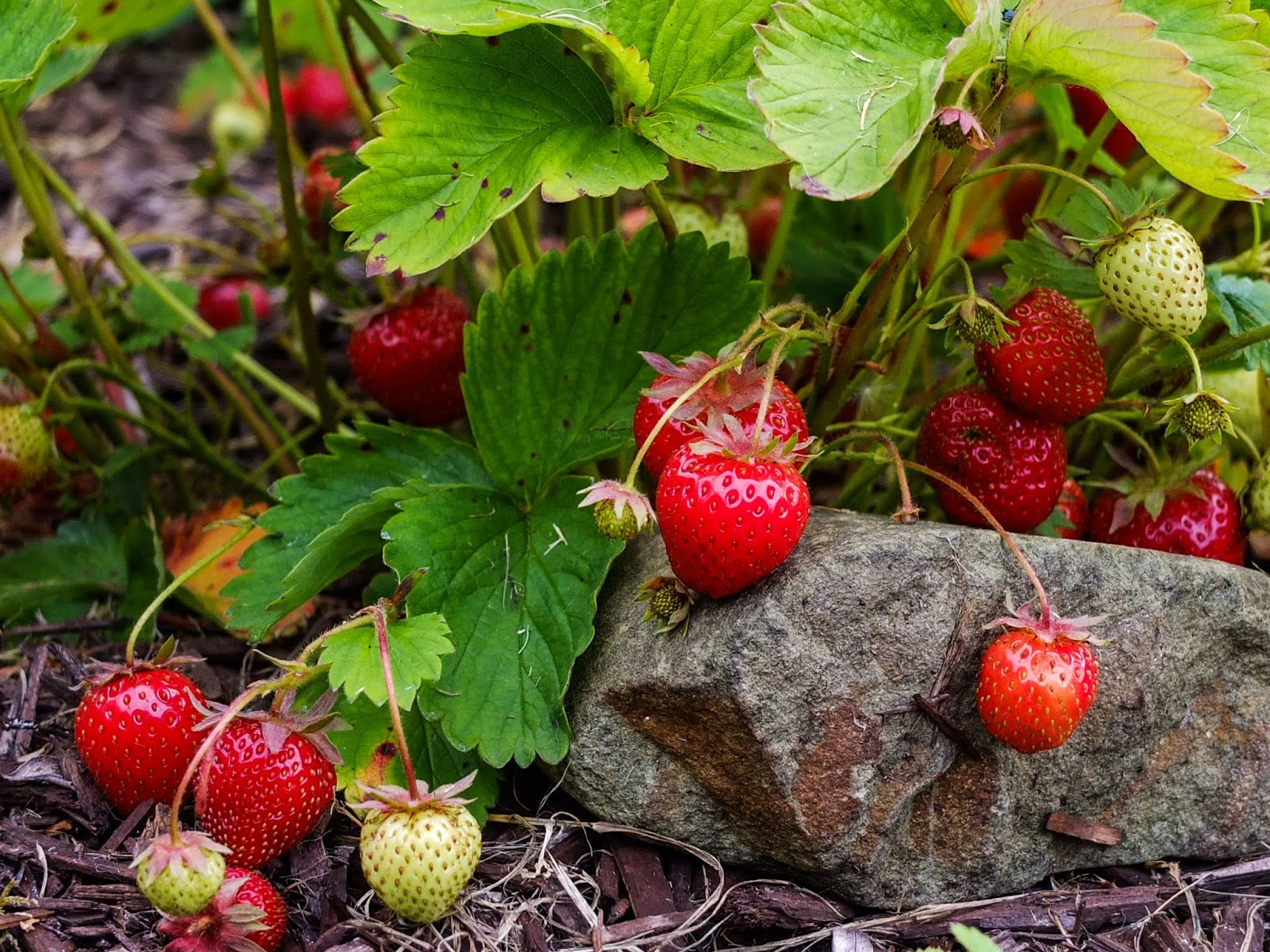 Bunches of red ripe strawberries.