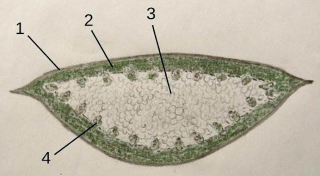 Corte transversal de una hoja de aloe con sus diferentes partes