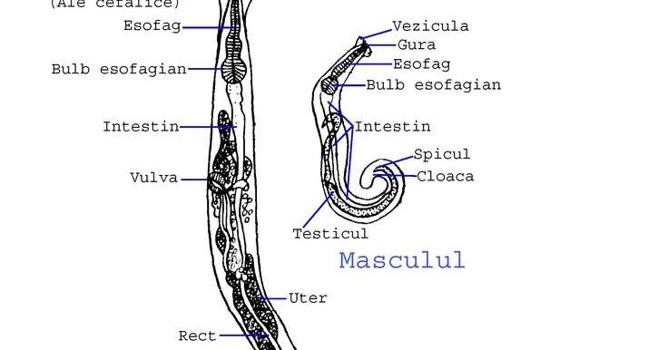 enterobius vermicularis jelentése magyarul, Enterobius vermicularis magyarul