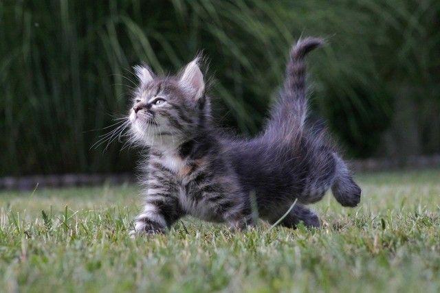 kucing jalan catwalk