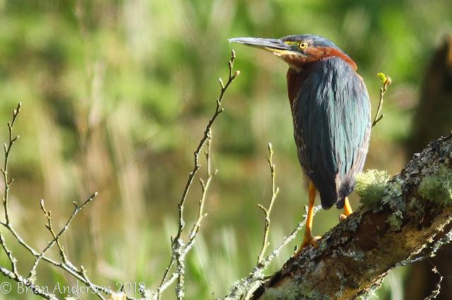 Green Heron Llan-mill Pembrokeshire