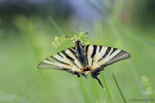 flambé papillon rayé blanc noir bleu